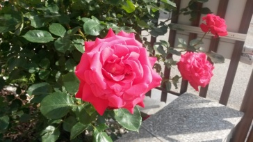 Beautiful roses at our front door greet us each day!